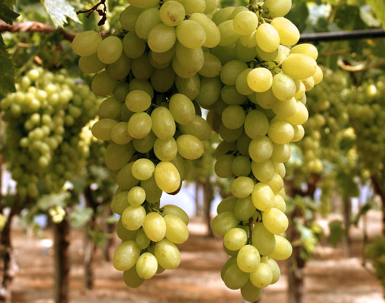 Uva vittoria op fruttapi - Calorie uva bianca da tavola ...