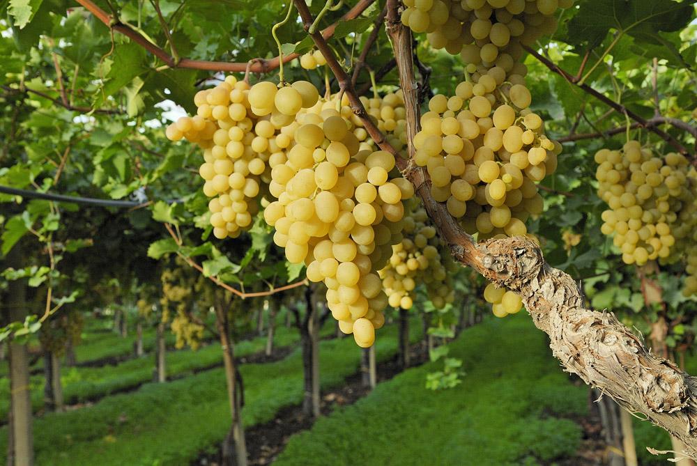 Uva italia op fruttapi - Calorie uva bianca da tavola ...